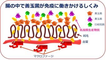 腸の働きかけ仕組み